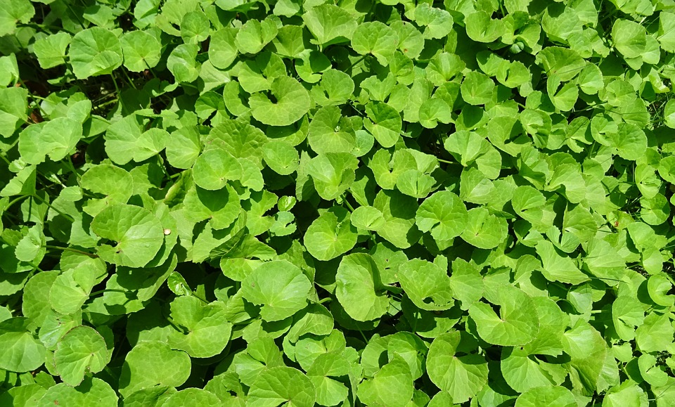 Centella Asiatica – a plant way to anti-age