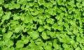 Centella Asiatica – a plant way toanti-age