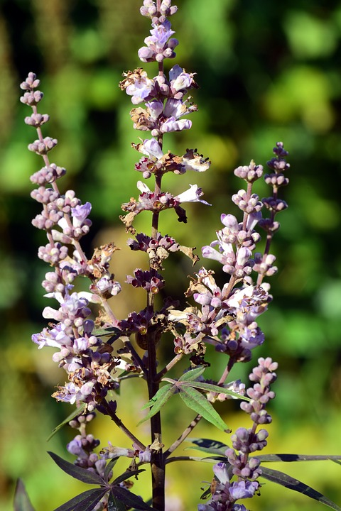 Agnus castus – a remedy easing through Peri-menopause